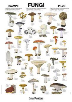 Svampeplakat - Spiselige og giftige svampe